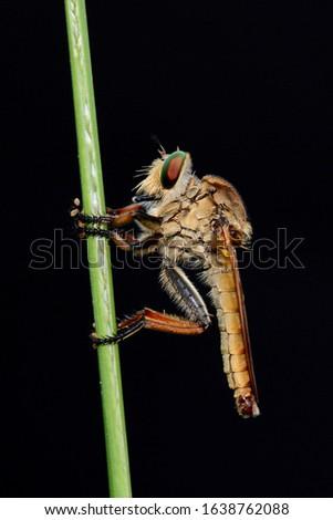 Asilidae adalah famili lalat yang dikenal akan sifatnya yang agresif. Lalat dalam famili ini biasanya memakan serangga lain dan menyergap mangsanya secara diam-diam. Stok fotoğraf ©