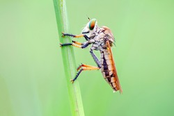 Asilidae are a family of flies known for their aggresive nature. Flies in this family usually eat other insects and quietly ambush their prey. In my place this robber fly known as rainbow robber fly.