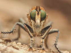 Asilidae robber assassin bot horse fly with big sting spike sucking out