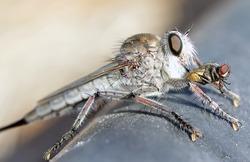 Asilidae Robber Assassin Fly Eating Prey