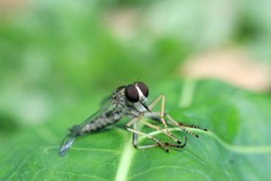 Asilidae, robber fly. The Asilidae are the robber fly family, also called assassin flies