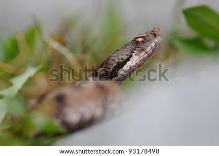asp viper (Vipera aspis atra) portrait  through the vegetation. Ticino, Switzerland