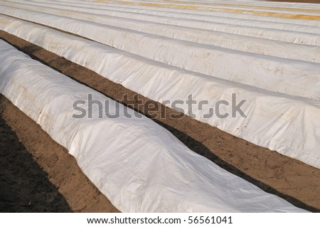 Asparagus field with white plastic foils in springtime - stock photo