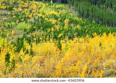 aspen and pine forests in hillside, kananaskis country, alberta, canada