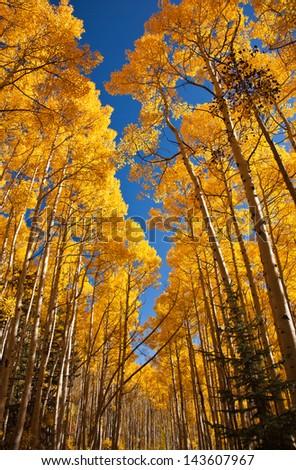 Aspen Color - stock photo