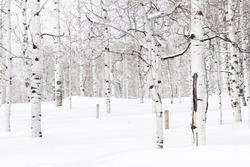 Aspen forest covered in fresh snow.