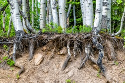 Aspen forest tree roots uprooted in summer on Kebler Pass in Colorado in National Forest park mountains with green color