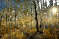 Aspen Grove fall sunrise with sunrays