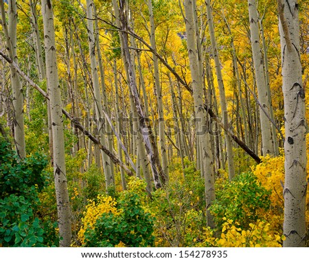 Aspen Grove in Lundy Canyon, Eastern Sierra Nevada Mountains, California.