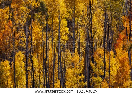Aspen Grove in peak fall colors, San Juan Mountains, Colorado