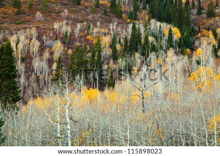 Aspen Grove with Leaves mostly Gone