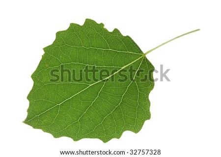 aspen leaf  isolated on a white