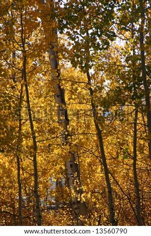 aspen leaves in autumn