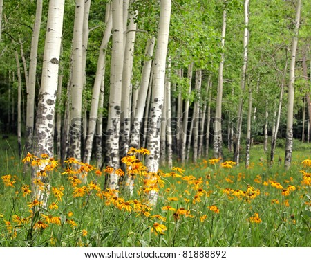 Aspen Meadow and Wildflowers in New Mexico