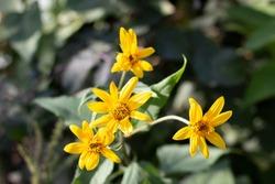 Aspen sunflower in full bloom on forest floor in the mountains.