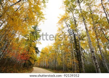 Aspen tree in autumn in Meadow Lake Park Saskatchewan