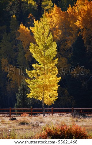Aspen Tree in the Afternoon Light