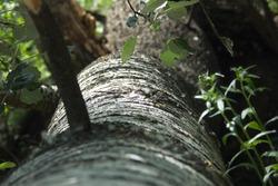 aspen tree white bark with black spots and green foliage, tree felling texture photo