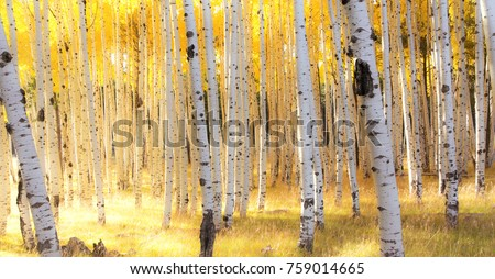 Aspen Trees and fall colors in the Autumn in the mountains of Flagstaff, Arizona