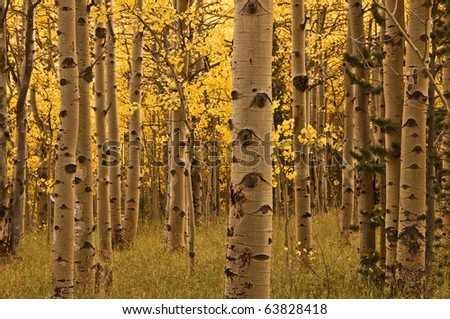 Aspen Trees And Trunks - stock photo