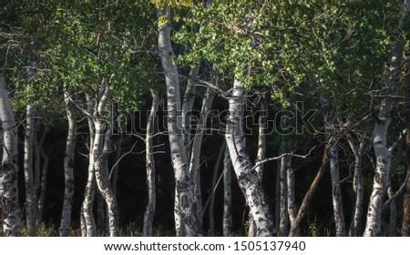 Aspen trees highlighted by an autumn afternoon sun #1505137940