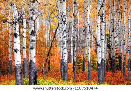 Photo of  Aspen trees in Banff national park in autumn time