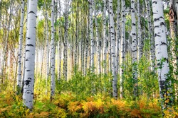 Aspen trees in Colorado rocky mountains