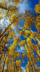 Aspen trees in Guanella Pass, Colorado. Forest in Rocky Mountains. Bright, Fall, Sunny. Tops of yellow trees. Worm's eye view.