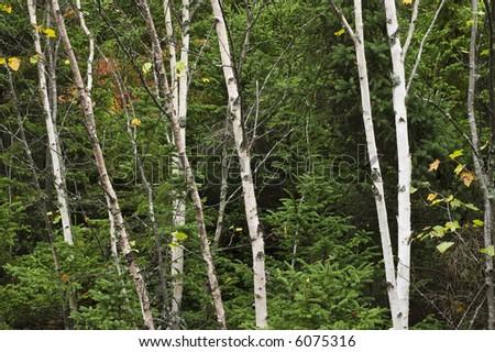 Aspen trees in Nova Scotia, Canada