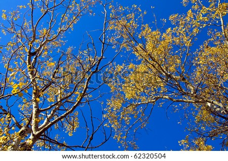 Aspen Trees in the Fall against a blue background