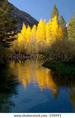 Aspen trees in the fall along a mountain stream in the owens valley.