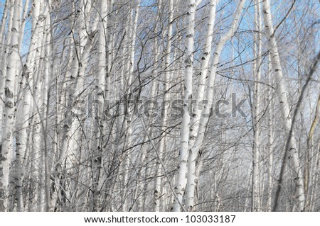 Aspen trees in the forest and mountains