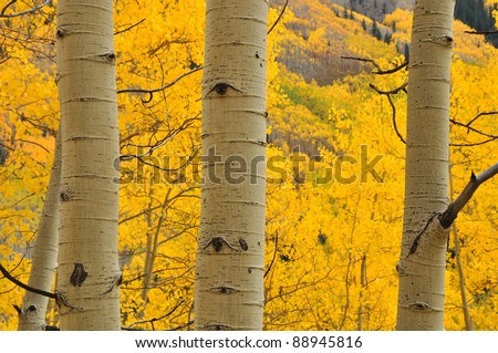 Aspen Trees near Aspen Colorado 100