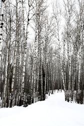 Aspen trees Saskatchewan in Winter