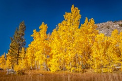 Aspen trees show their fall colors in Owens Valley.