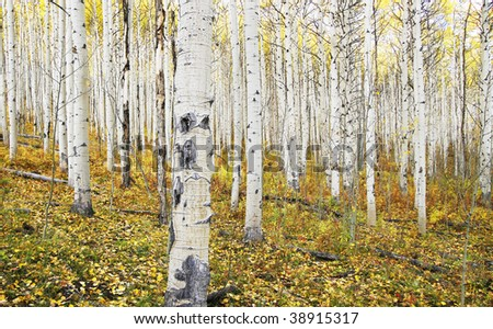 aspen trees with leaves covering ground; good for background