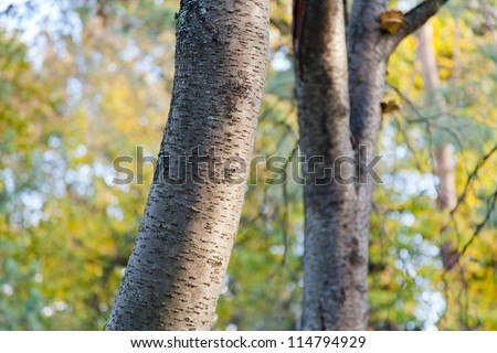 aspen trunks in autumn forest close up