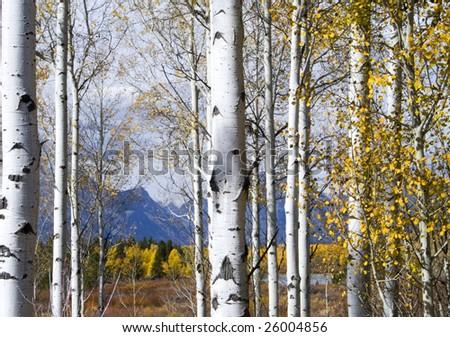 Aspen trunks in fall - Shutterstock ID 26004856