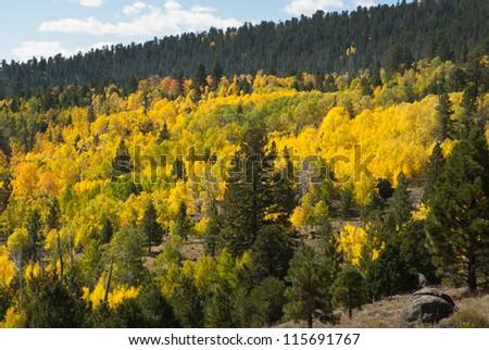 Aspens in Fall, Utah, USA