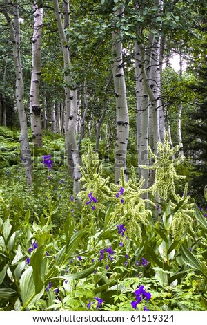 Aspens with flowers and foliage in foreground
