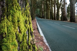 Asphalt road among high mossy trees in the forest. Anaga park. Tenerife. Canary islands. Spain.