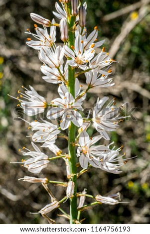 Free photos white flowers with 6 petals on green weeds avopix asphodelus fistulosus or onion weed found growing in the wild in murcia spain white mightylinksfo