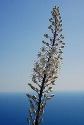 Asphodelus is a legendary flower dedicated to the mistress of the Underworld Persephone