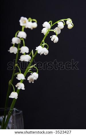 aspidistra, white lily-of-the-valley isolated on the black background