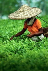 Assamese tea picker at work, Assam Tea Garden grown in lowland and Brahmaputra River Valley, India.