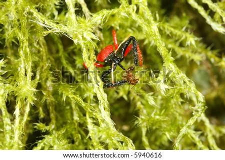 Assassin bug feeding on an ant