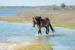 Assateague horse wild pony portrait while coming to you