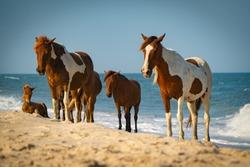 Assateague Island Wild Horses on Beach