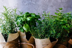 Assorted fresh herbs growing in pots, outdoors in the garden in a close up view on leafy green basil and rosemary. Mixed fresh aromatic herbs in a cardboard bag.