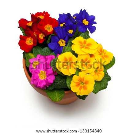 assorted primula flowers in ceramic pot isolated on white background